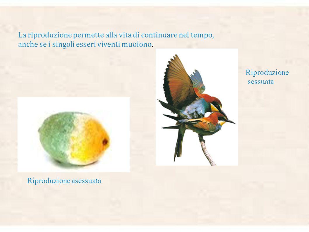 La riproduzione permette alla vita di continuare nel tempo, anche se i singoli esseri viventi muoiono.