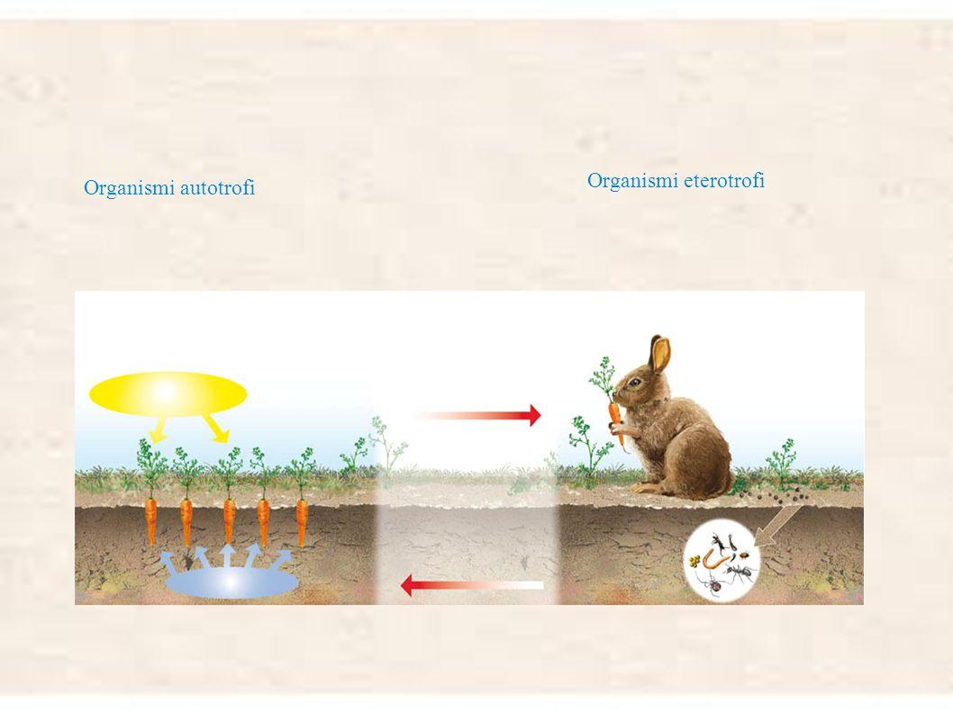 Organismi eterotrofi Organismi autotrofi
