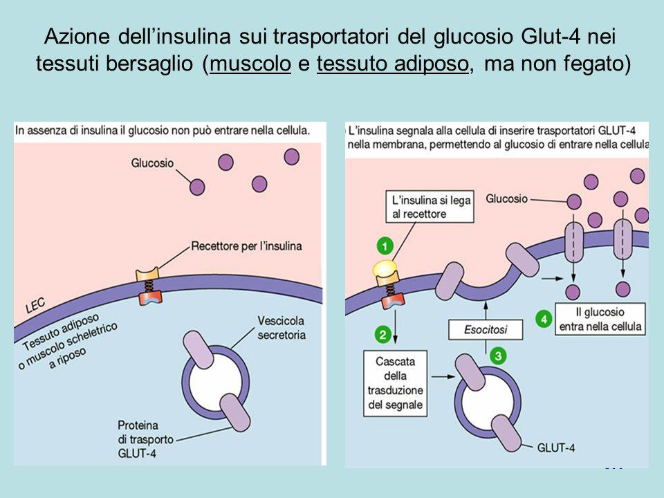 Azione dell'insulina sui trasportatori del glucosio Glut-4 nei