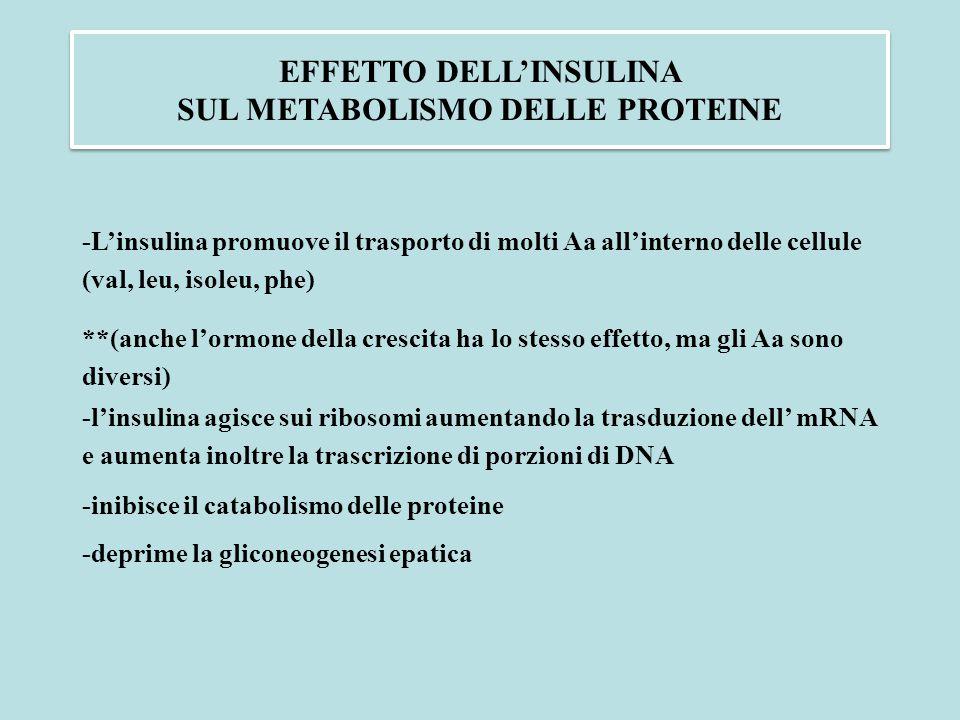 EFFETTO DELL'INSULINA SUL METABOLISMO DELLE PROTEINE