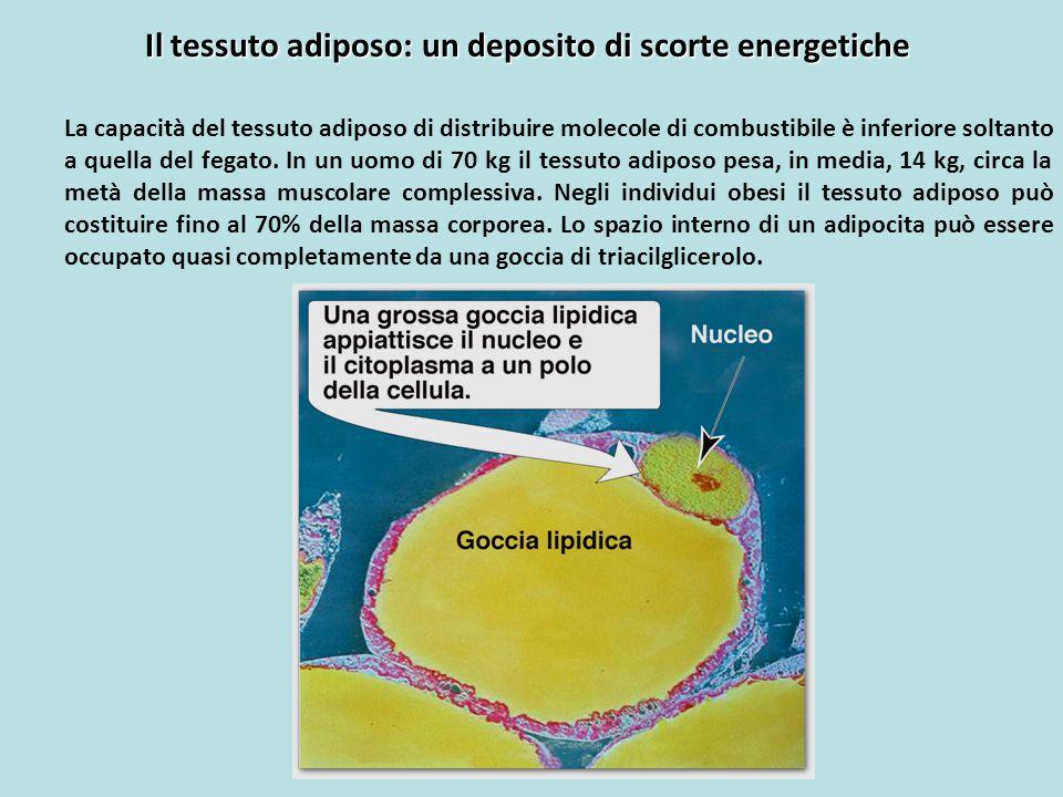 Il tessuto adiposo: un deposito di scorte energetiche