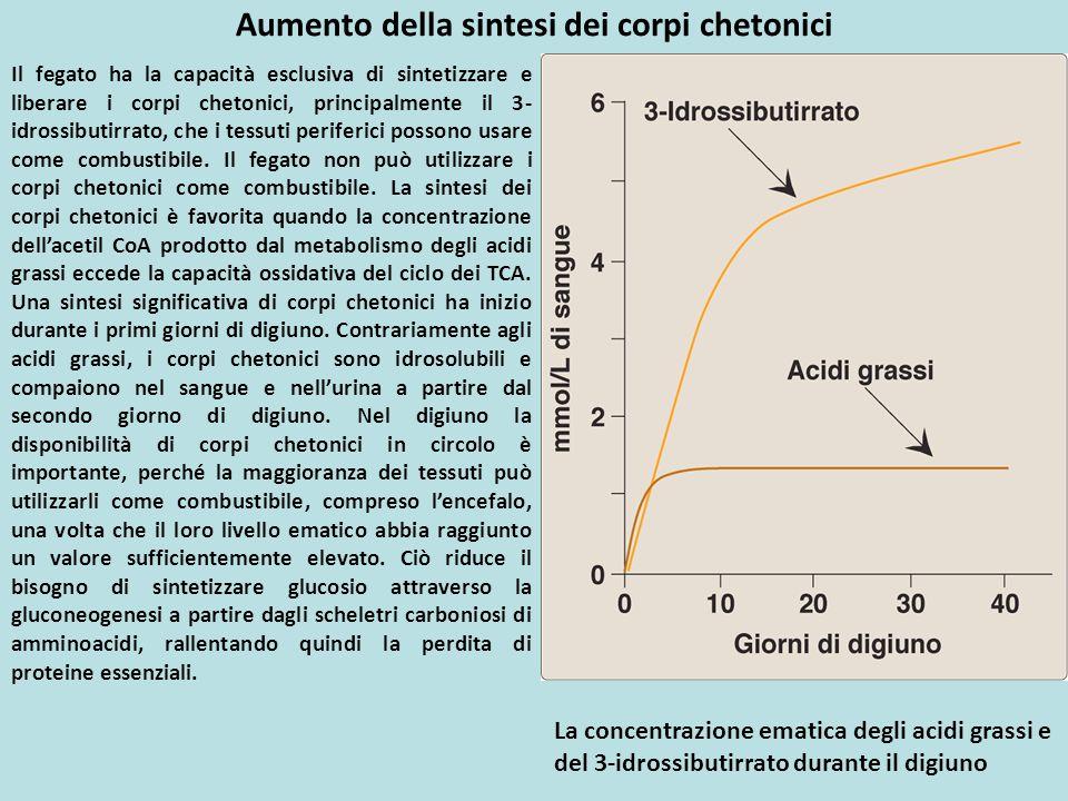 Aumento della sintesi dei corpi chetonici