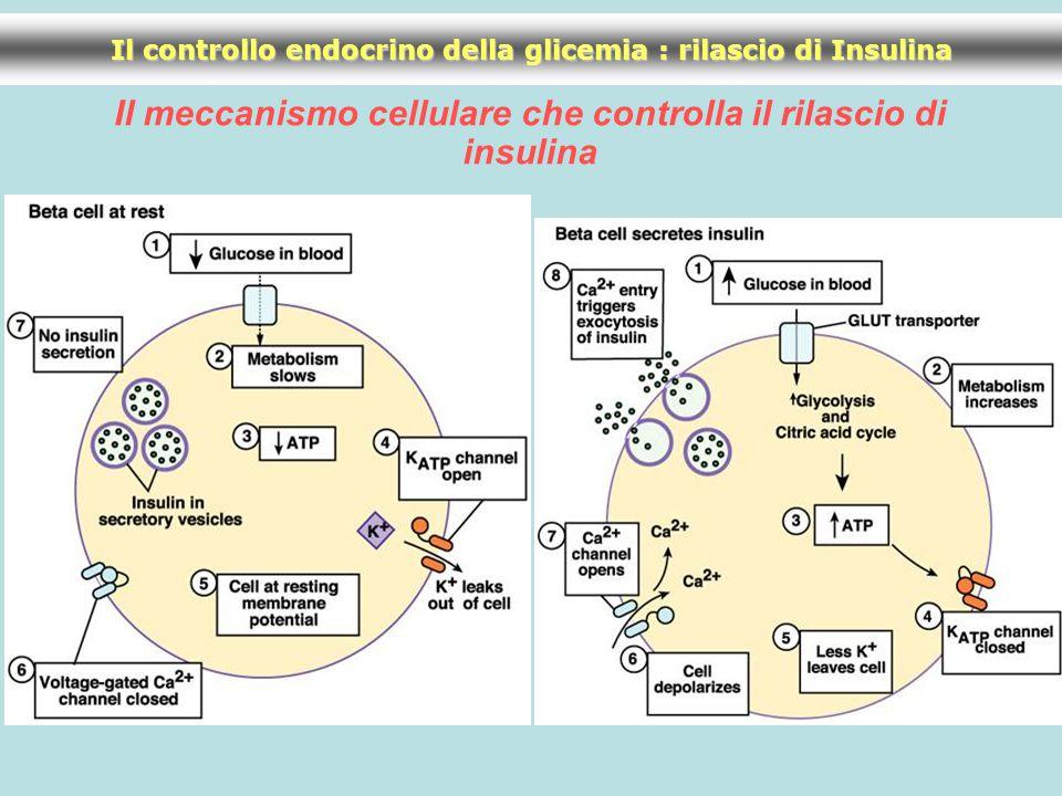 Il meccanismo cellulare che controlla il rilascio di insulina