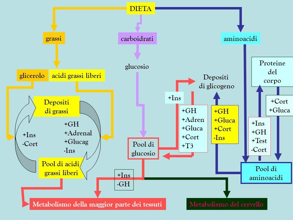 DIETA grassi. carboidrati. aminoacidi. glicerolo. acidi grassi liberi. Pool di acidi. grassi liberi.