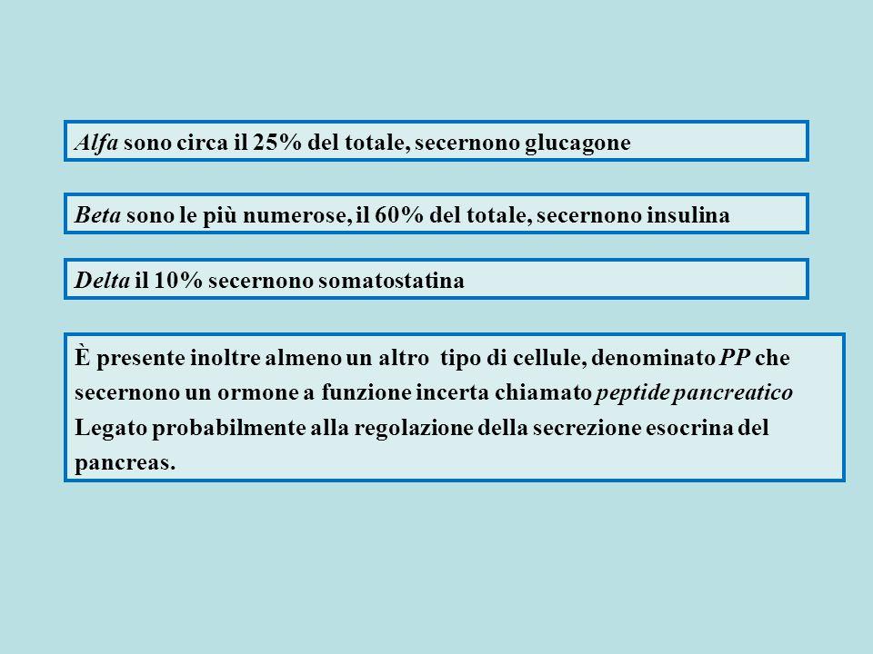 Alfa sono circa il 25% del totale, secernono glucagone