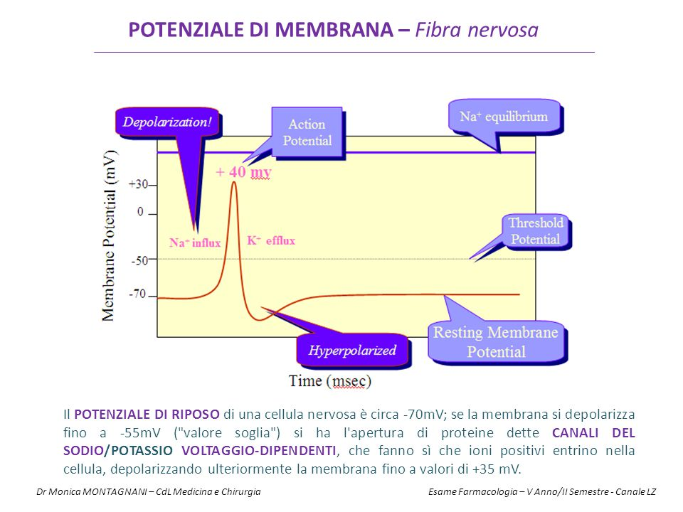POTENZIALE DI MEMBRANA – Fibra nervosa
