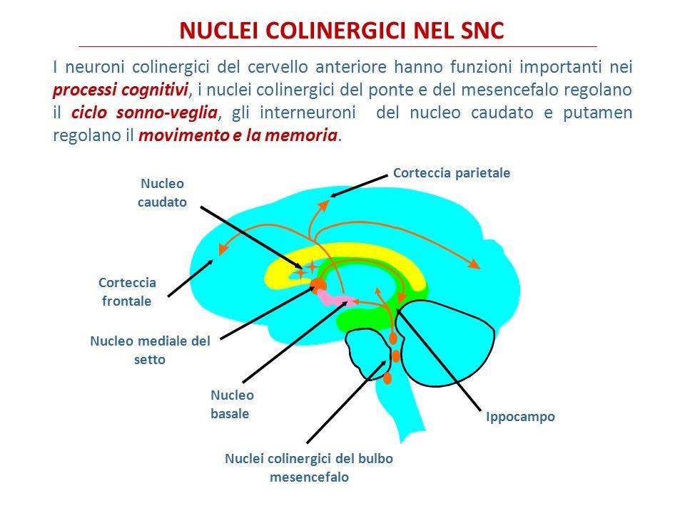 Nucleo mediale del setto Nuclei colinergici del bulbo mesencefalo