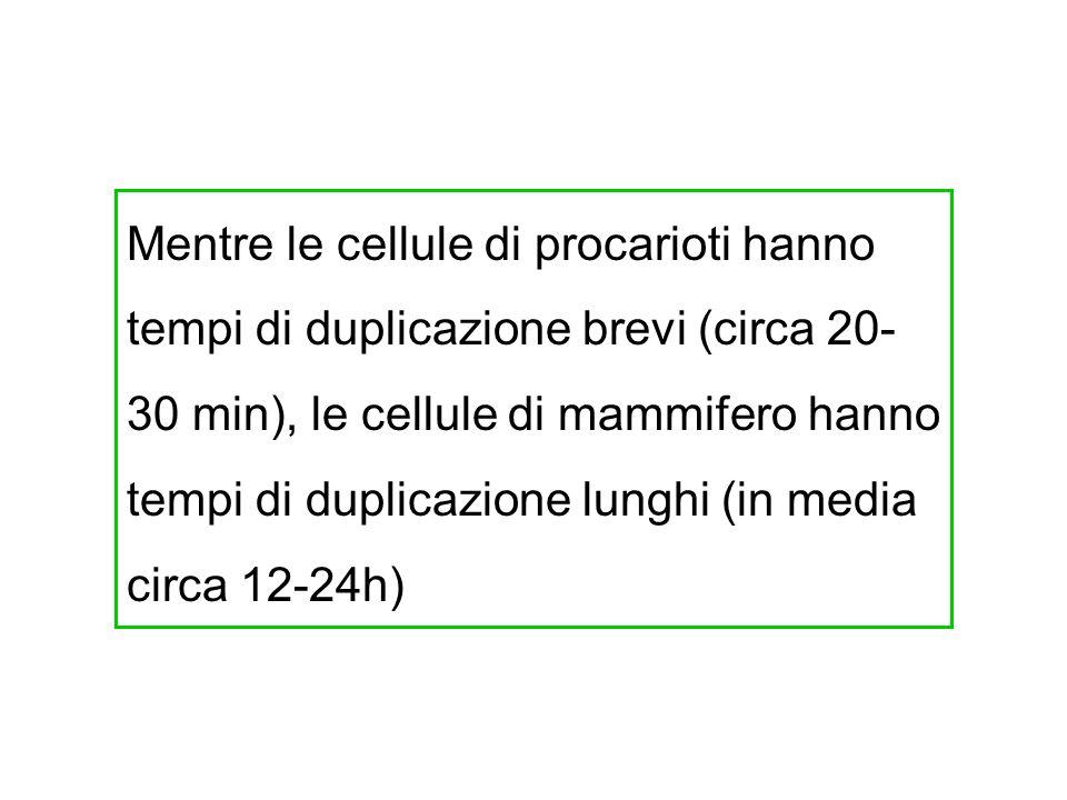 Mentre le cellule di procarioti hanno tempi di duplicazione brevi (circa 20-30 min), le cellule di mammifero hanno tempi di duplicazione lunghi (in media circa 12-24h)