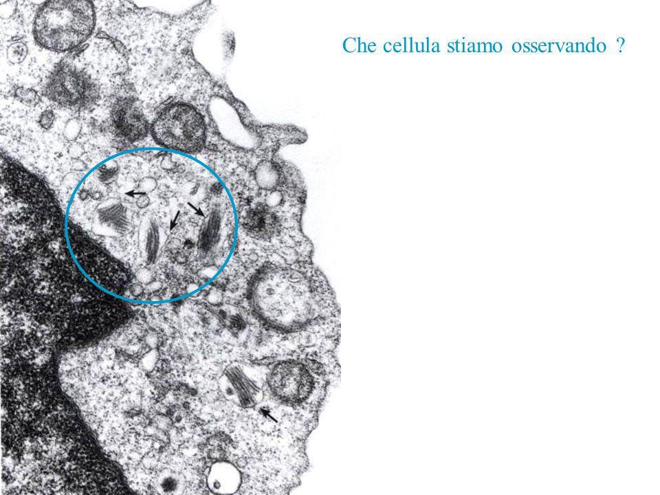 Che cellula stiamo osservando