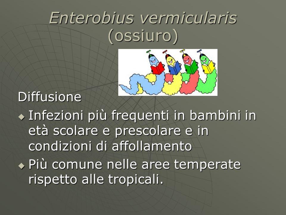 Enterobius vermicularis (ossiuro)