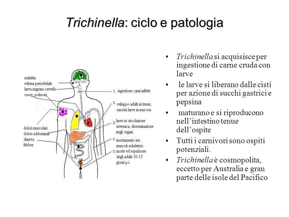Trichinella: ciclo e patologia