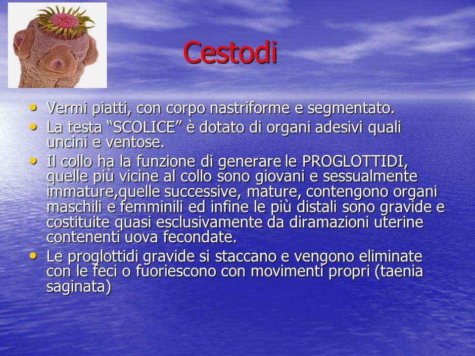 Cestodi Vermi piatti, con corpo nastriforme e segmentato.