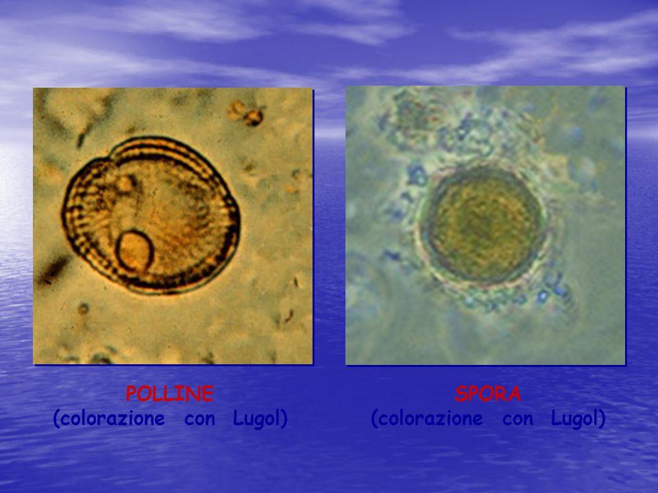 (colorazione con Lugol) (colorazione con Lugol)