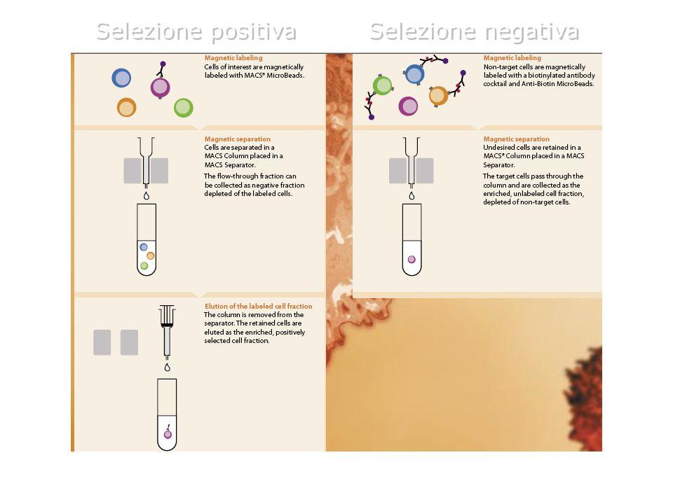 Selezione positiva Selezione negativa 12