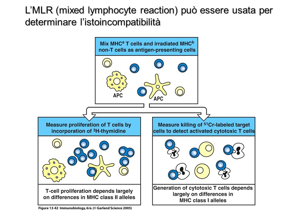 L'MLR (mixed lymphocyte reaction) può essere usata per determinare l'istoincompatibilità