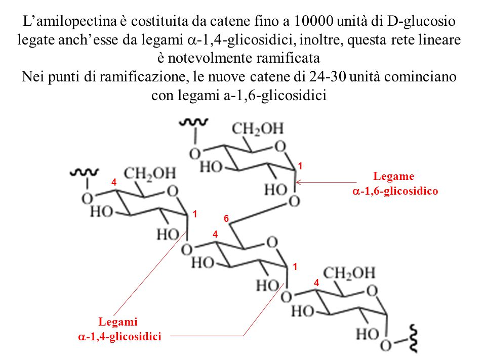 L'amilopectina è costituita da catene fino a 10000 unità di D-glucosio legate anch'esse da legami a-1,4-glicosidici, inoltre, questa rete lineare è notevolmente ramificata