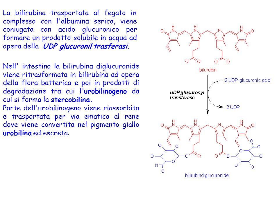 La bilirubina trasportata al fegato in complesso con l albumina serica, viene coniugata con acido glucuronico per formare un prodotto solubile in acqua ad opera della UDP glucuronil trasferasi.