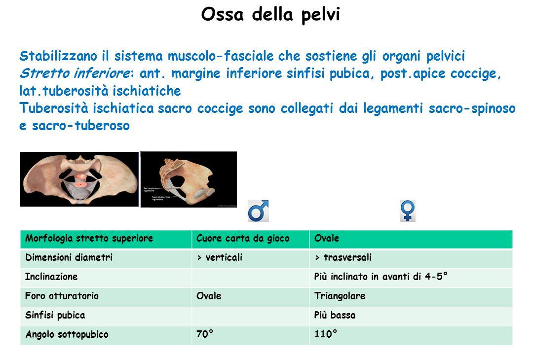 Ossa della pelvi Stabilizzano il sistema muscolo-fasciale che sostiene gli organi pelvici.