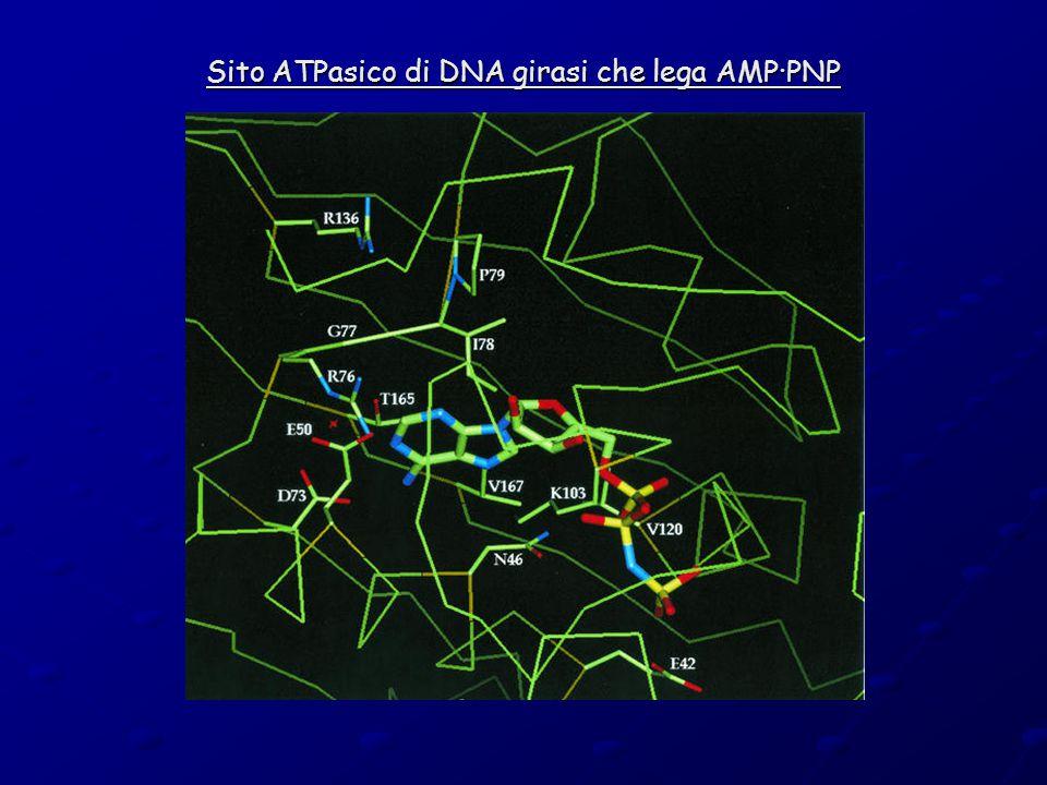 Sito ATPasico di DNA girasi che lega AMP·PNP