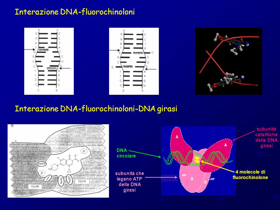 Interazione DNA-fluorochinoloni