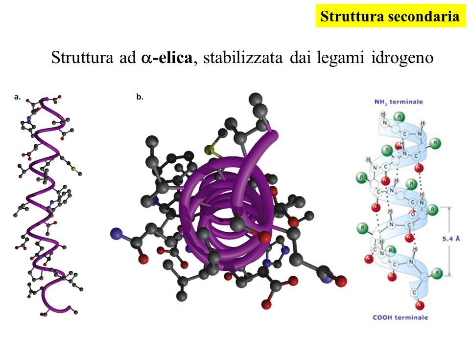 Struttura ad a-elica, stabilizzata dai legami idrogeno