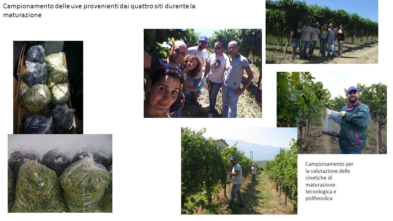 Campionamento delle uve provenienti dai quattro siti durante la maturazione