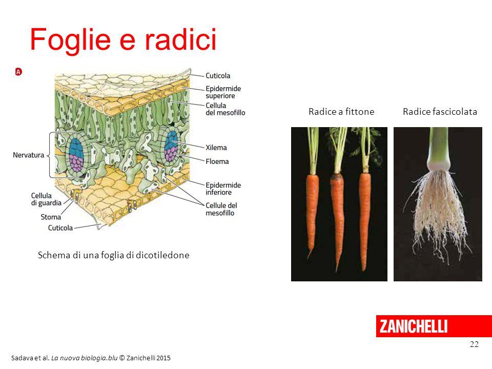 Foglie e radici Radice a fittone Radice fascicolata