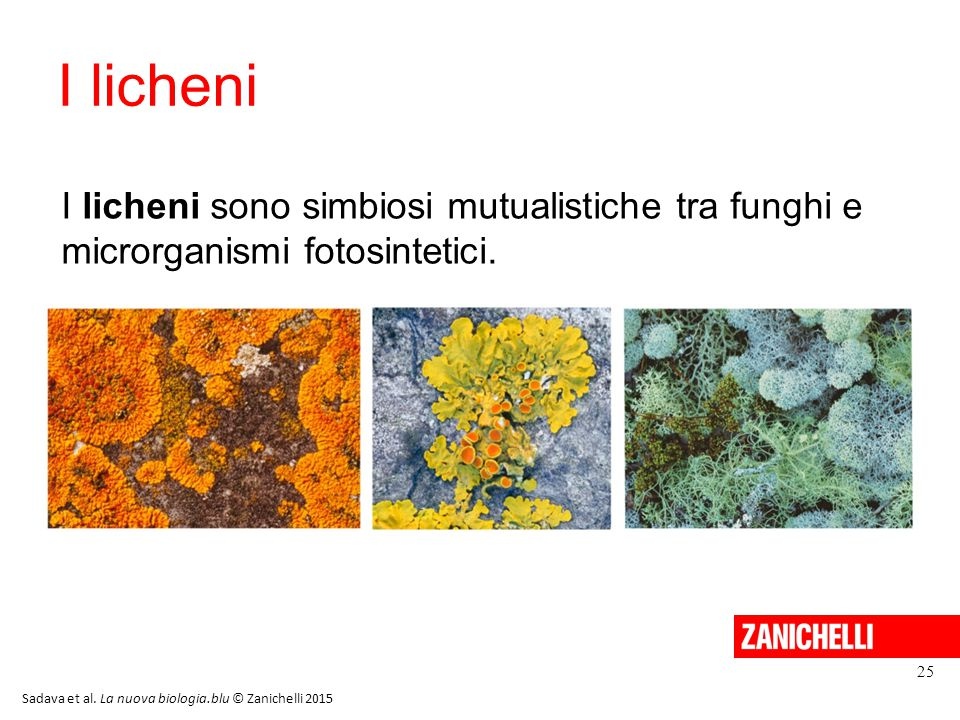 13/11/11 I licheni. I licheni sono simbiosi mutualistiche tra funghi e microrganismi fotosintetici.
