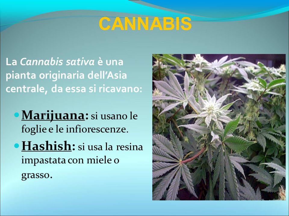 CANNABIS Marijuana: si usano le foglie e le infiorescenze.