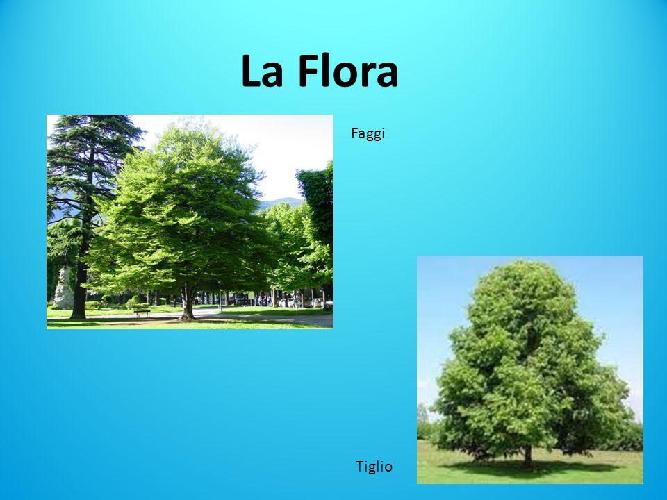La Flora Faggi. , i faggi, i tigli, piante a foglia larga , arbusti e alberi dal basso fusto e felci, muschi, licheni, .