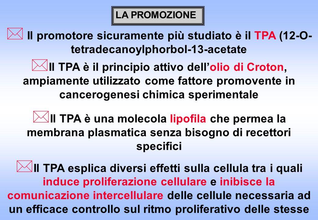 LA PROMOZIONE Il promotore sicuramente più studiato è il TPA (12-O-tetradecanoylphorbol-13-acetate.