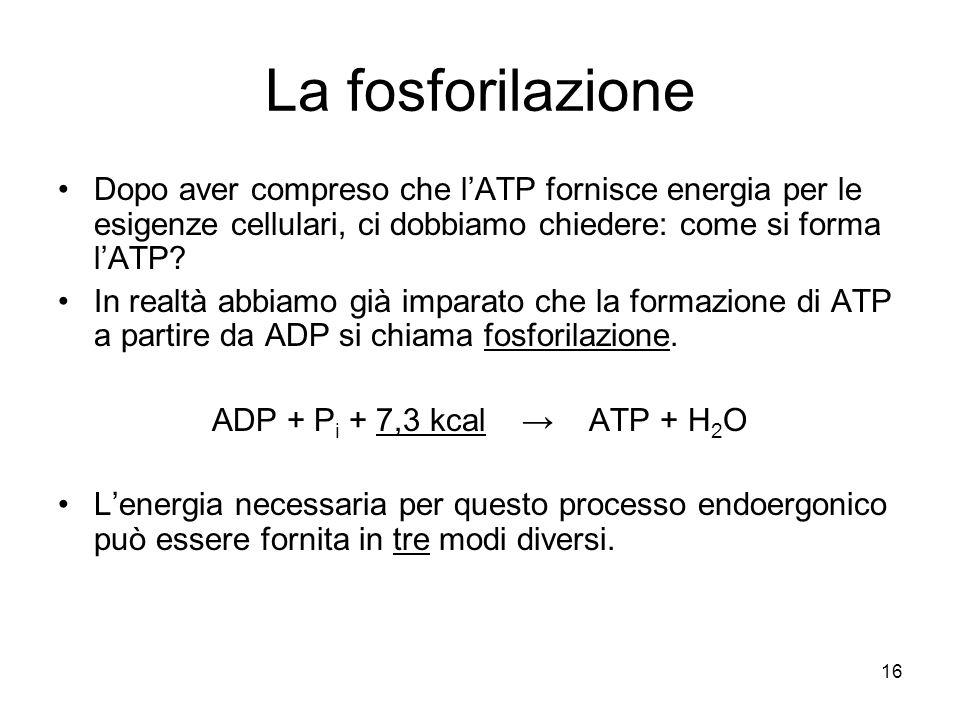 La fosforilazione Dopo aver compreso che l'ATP fornisce energia per le esigenze cellulari, ci dobbiamo chiedere: come si forma l'ATP