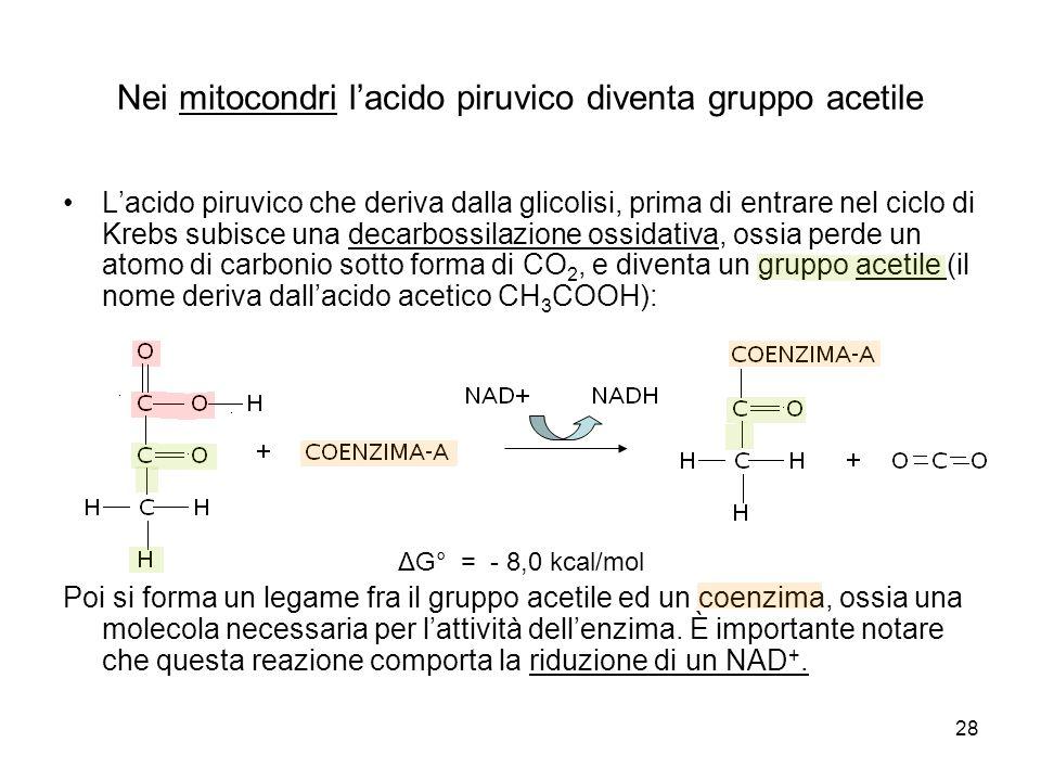 Nei mitocondri l'acido piruvico diventa gruppo acetile