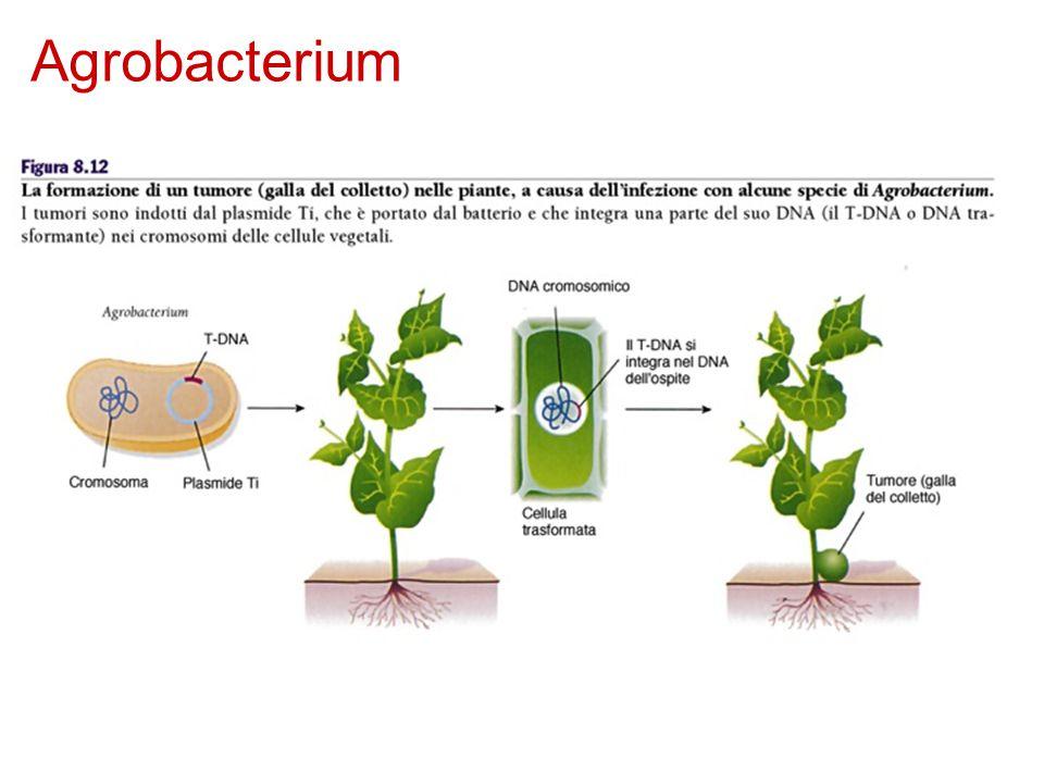 Agrobacterium Agrobacterium tumefaciens è presente nel suolo. Una ferita nella pianta permette al batterio di infettare le cellule vegetali.