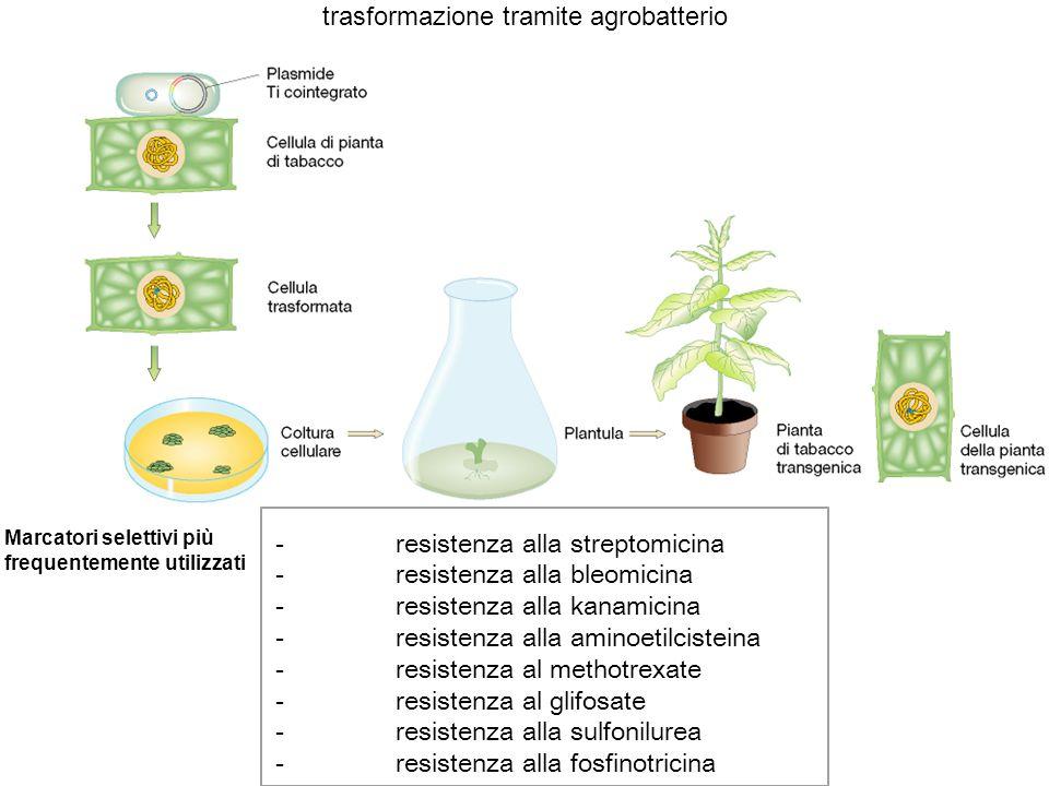 trasformazione tramite agrobatterio