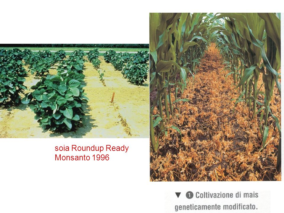 soia Roundup Ready Monsanto 1996