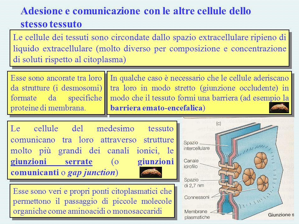 Adesione e comunicazione con le altre cellule dello stesso tessuto