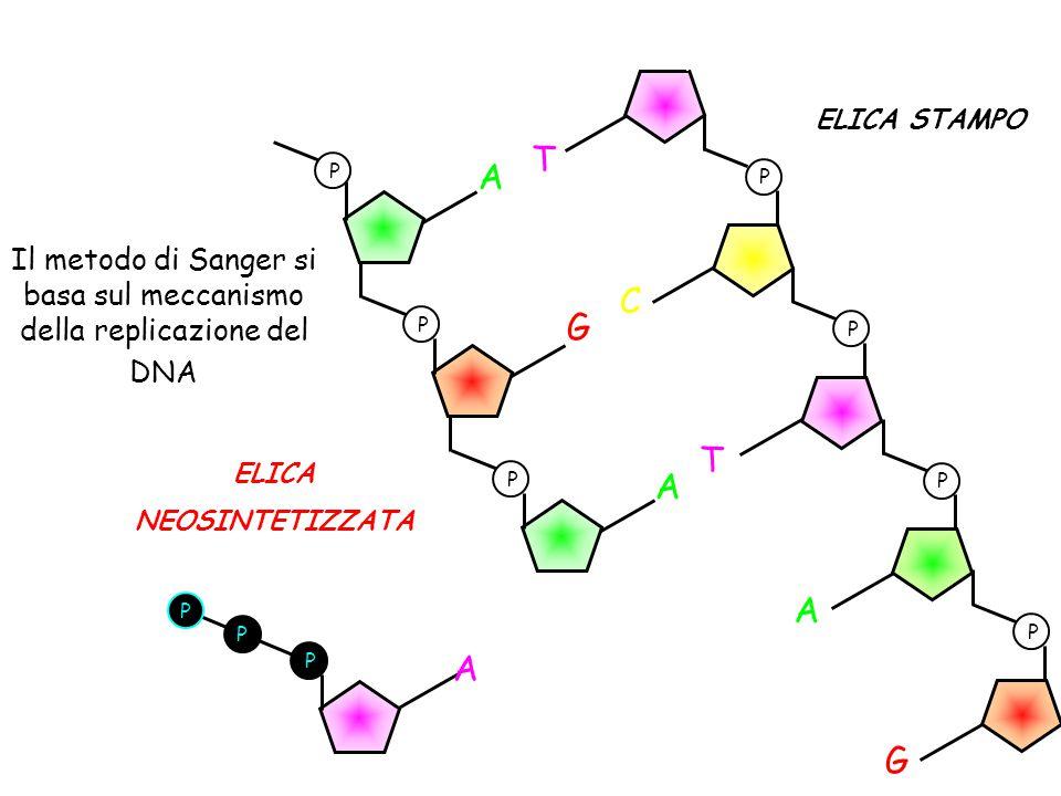 Il metodo di Sanger si basa sul meccanismo della replicazione del DNA