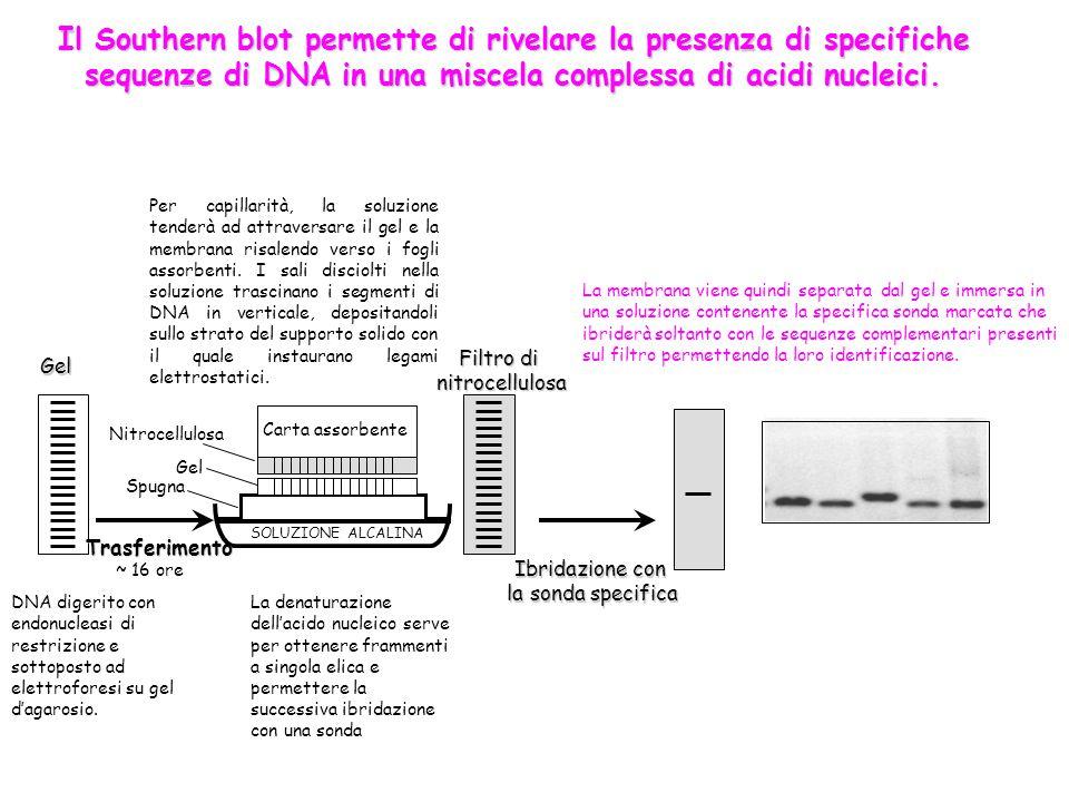 Il Southern blot permette di rivelare la presenza di specifiche sequenze di DNA in una miscela complessa di acidi nucleici.