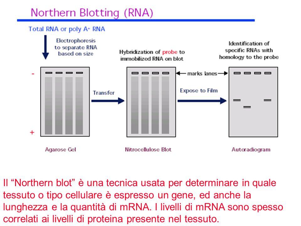 Il Northern blot è una tecnica usata per determinare in quale tessuto o tipo cellulare è espresso un gene, ed anche la lunghezza e la quantità di mRNA.