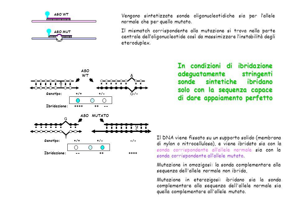 ASO WT ASO MUT. Vengono sintetizzate sonde oligonucleotidiche sia per l'allele normale che per quello mutato.