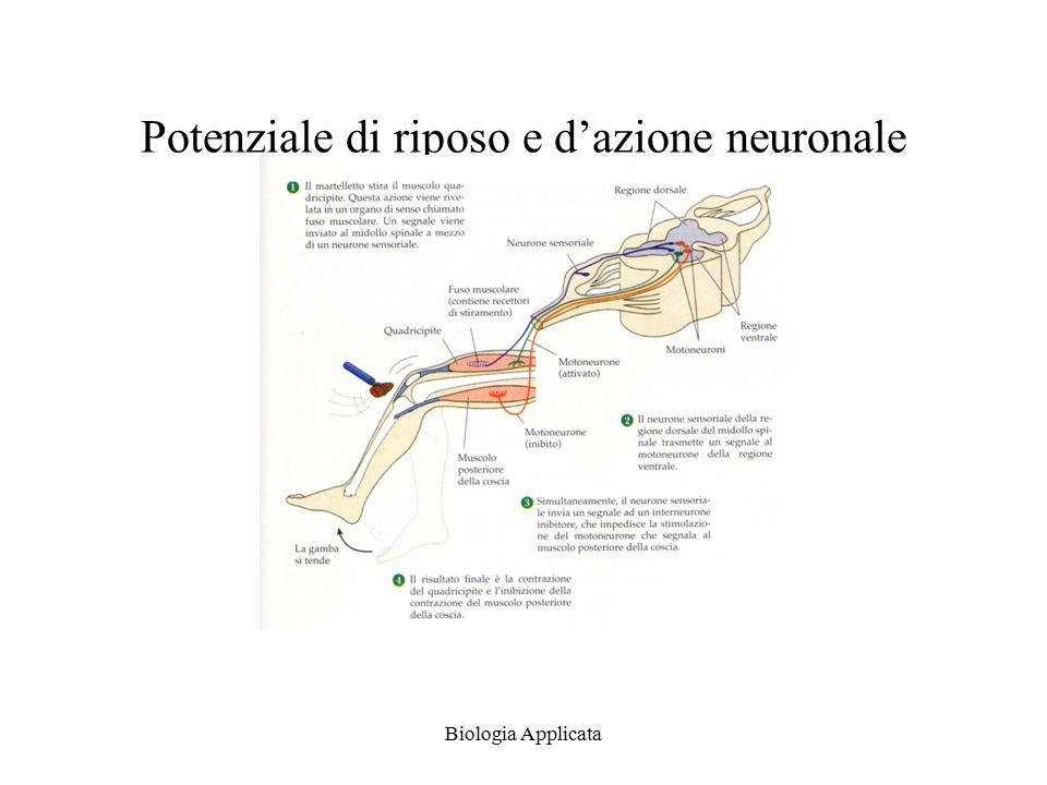 Potenziale di riposo e d'azione neuronale