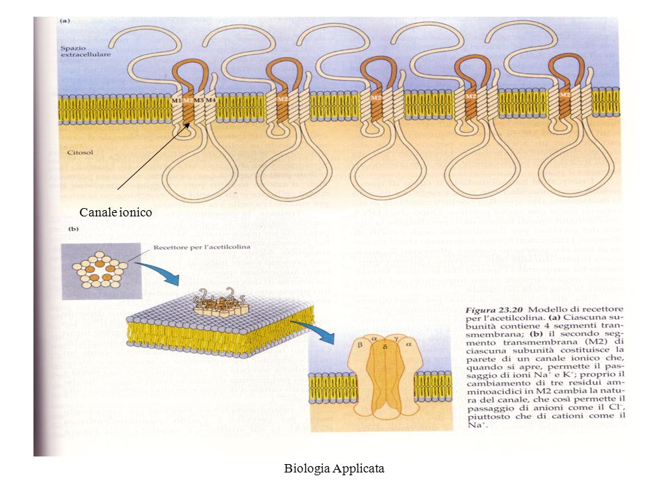 Canale ionico Biologia Applicata