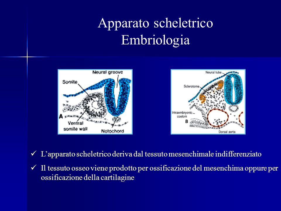 Apparato scheletrico Embriologia
