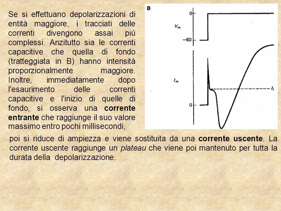 Se si effettuano depolarizzazioni di entità maggiore, i tracciati delle correnti divengono assai più complessi. Anzitutto sia le correnti capacitive che quella di fondo (tratteggiata in B) hanno intensità proporzionalmente maggiore. Inoltre, immediatamente dopo l esaurimento delle correnti capacitive e l inizio di quelle di fondo, si osserva una corrente entrante che raggiunge il suo valore massimo entro pochi millisecondi,