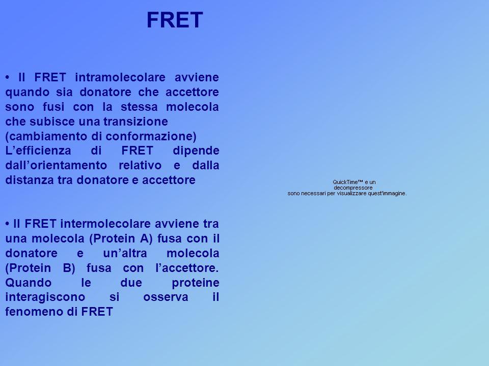 FRET • Il FRET intramolecolare avviene quando sia donatore che accettore sono fusi con la stessa molecola che subisce una transizione.