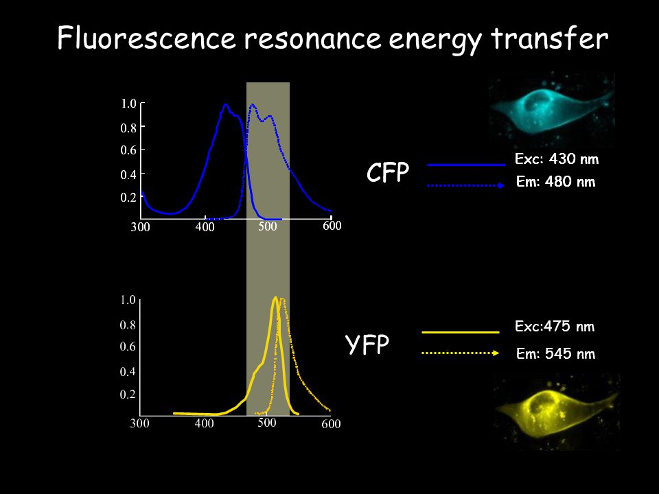 Fluorescence resonance energy transfer