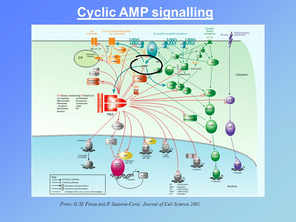 Cyclic AMP signalling From: G.M. Fimia and P. Sassone-Corsi, Journal of Cell Science 2001