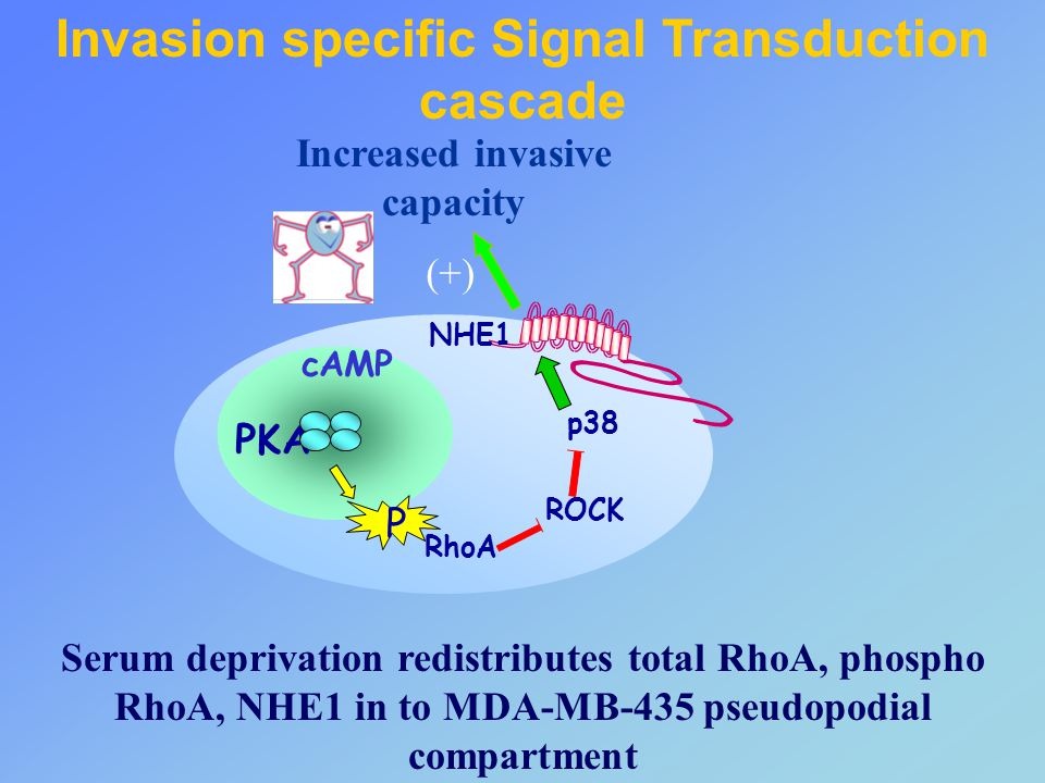 Invasion specific Signal Transduction cascade