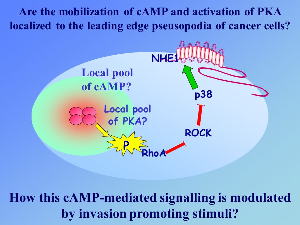 Are the mobilization of cAMP and activation of PKA localized to the leading edge pseusopodia of cancer cells